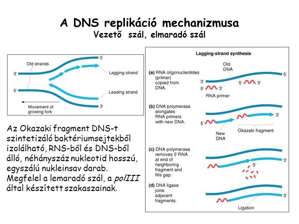 A DNS replikáció mechanizmusa Vezető szál, elmaradó szál Az Okazaki fragment DNS-t szintetizáló baktériumsejtekből izolálható, RNS-ből és DNS-ből álló