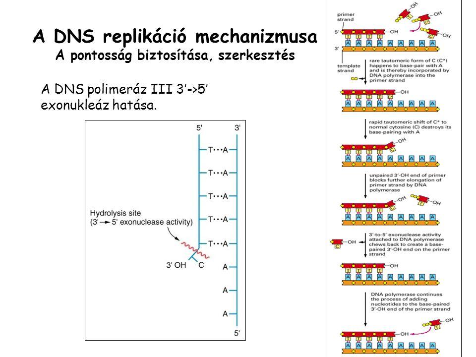 A DNS replikáció mechanizmusa A pontosság biztosítása, szerkesztés A DNS polimeráz III 3'->5' exonukleáz hatása.