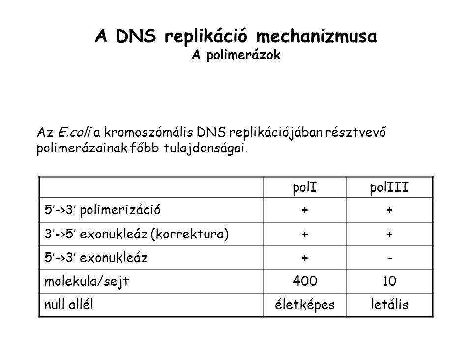 A DNS replikáció mechanizmusa A polimerázok Az E.coli a kromoszómális DNS replikációjában résztvevő polimerázainak főbb tulajdonságai. polIpolIII 5'->