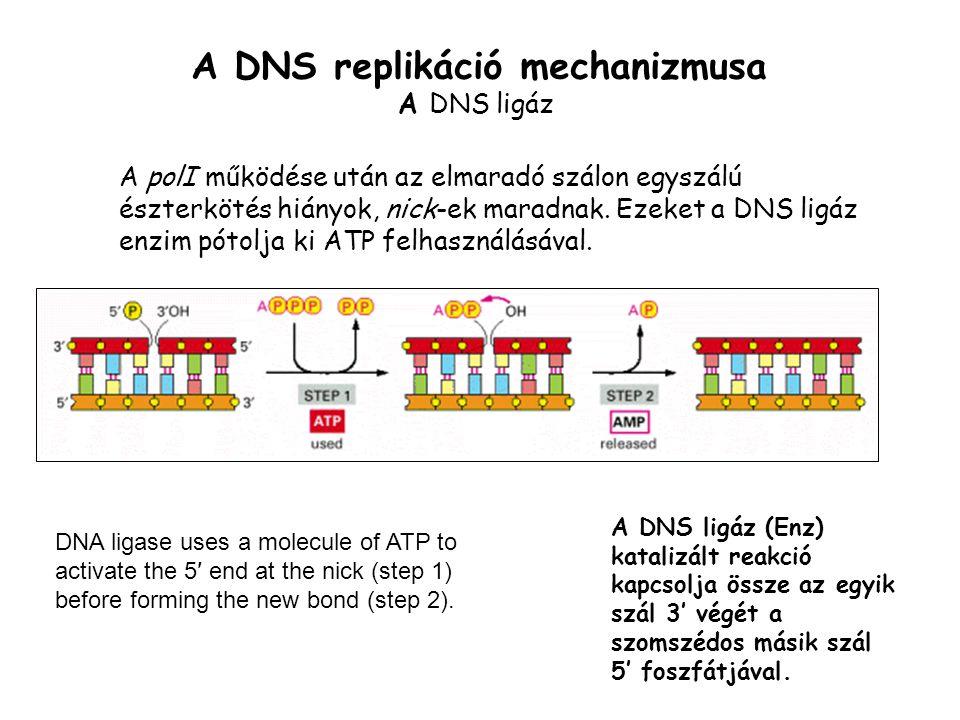 A DNS replikáció mechanizmusa A DNS ligáz A polI működése után az elmaradó szálon egyszálú észterkötés hiányok, nick-ek maradnak. Ezeket a DNS ligáz e