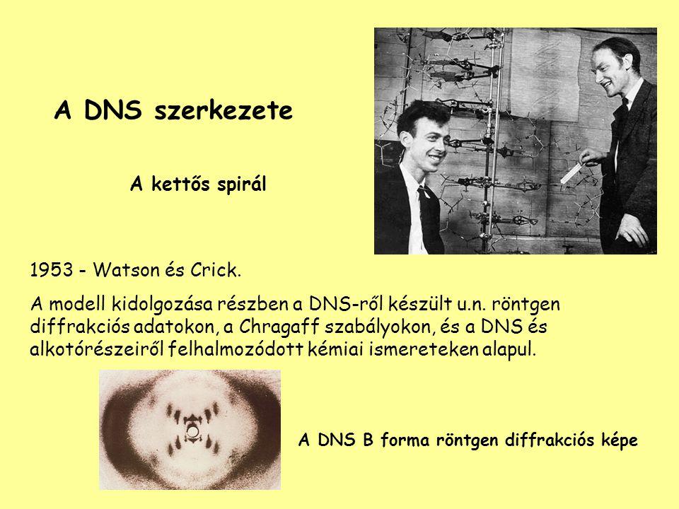 A DNS szerkezete A kettős spirál 1953 - Watson és Crick. A modell kidolgozása részben a DNS-ről készült u.n. röntgen diffrakciós adatokon, a Chragaff