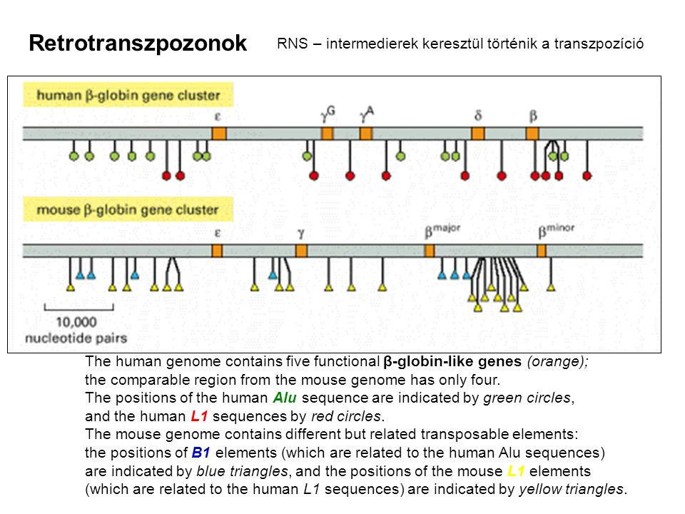 The human genome contains five functional β-globin-like genes (orange); the comparable region from the mouse genome has only four. The positions of th