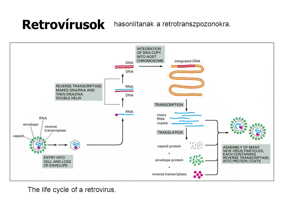 The life cycle of a retrovirus. Retrovírusok hasonlítanak a retrotranszpozonokra.