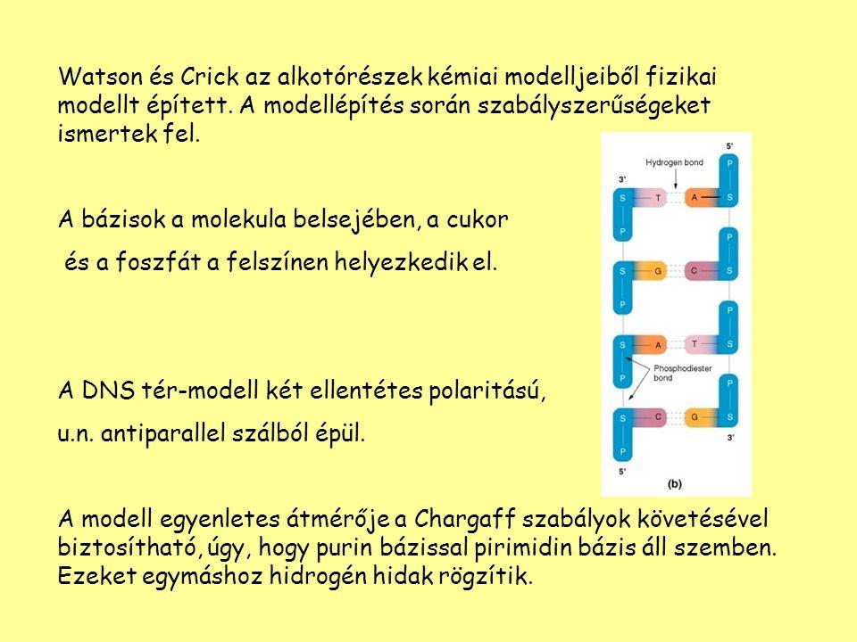 Watson és Crick az alkotórészek kémiai modelljeiből fizikai modellt épített. A modellépítés során szabályszerűségeket ismertek fel. A bázisok a moleku