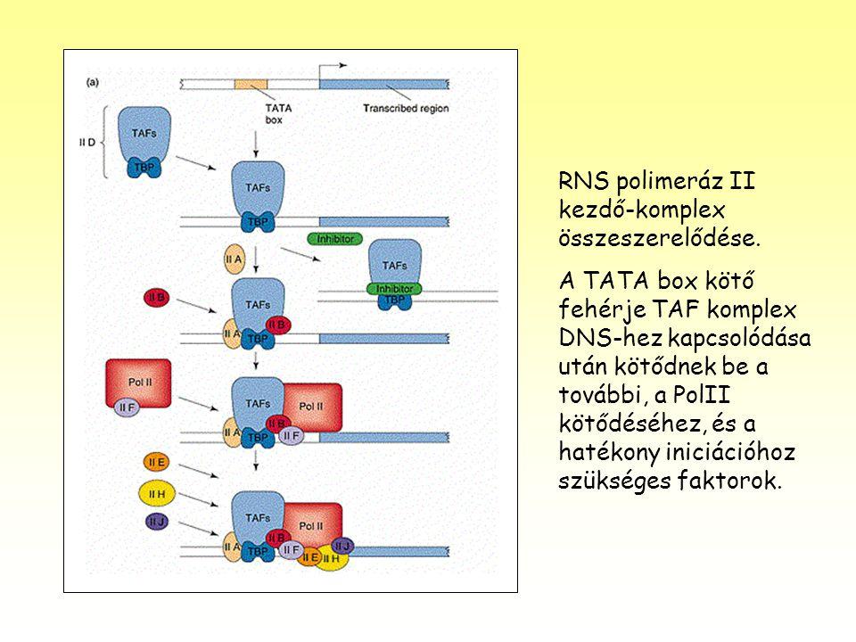 RNS polimeráz II kezdő-komplex összeszerelődése. A TATA box kötő fehérje TAF komplex DNS-hez kapcsolódása után kötődnek be a további, a PolII kötődésé