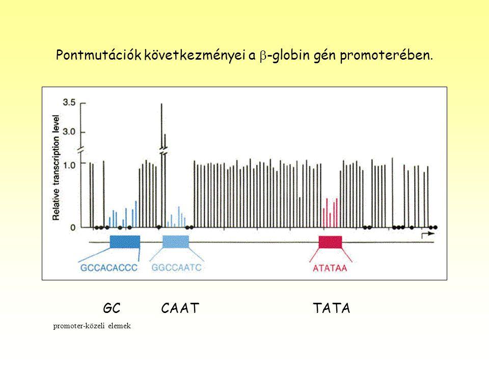 Pontmutációk következményei a  -globin gén promoterében. GC CAAT TATA promoter-közeli elemek