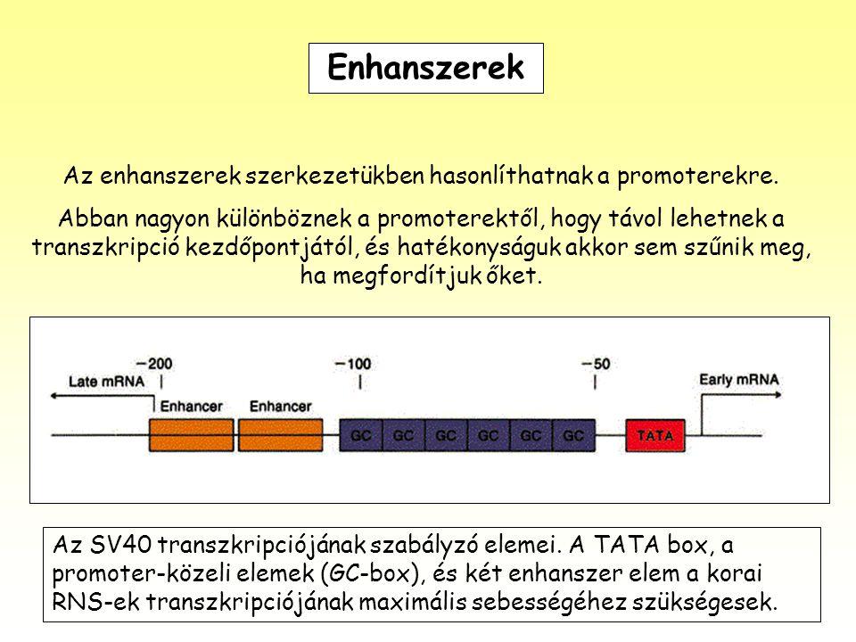 Enhanszerek Az enhanszerek szerkezetükben hasonlíthatnak a promoterekre. Abban nagyon különböznek a promoterektől, hogy távol lehetnek a transzkripció