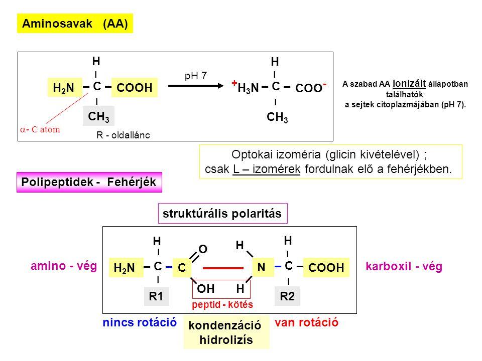 Aminosavak (AA) +H3N+H3N – – H CH 3 COO - – C – pH 7 H2NH2N – – H CH 3  - C atom COOH – C – R - oldallánc A szabad AA ionizált állapotban találhatók a sejtek citoplazmájában (pH 7).