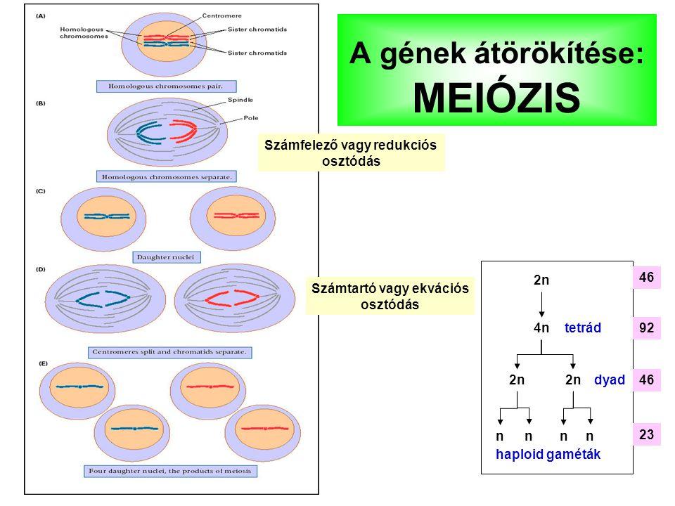 A gének átörökítése: MEIÓZIS 4n 2n nnnn tetrád dyad haploid gaméták 46 23 92 Számfelező vagy redukciós osztódás Számtartó vagy ekvációs osztódás