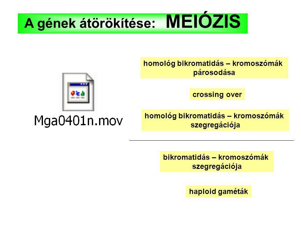 A gének átörökítése: MEIÓZIS homológ bikromatidás – kromoszómák párosodása crossing over homológ bikromatidás – kromoszómák szegregációja bikromatidás – kromoszómák szegregációja haploid gaméták