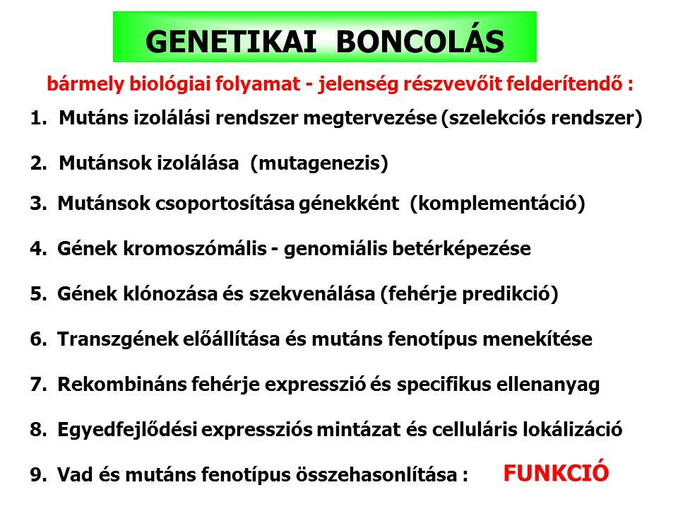 GENETIKAI BONCOLÁS 1.Mutáns izolálási rendszer megtervezése (szelekciós rendszer) 2.