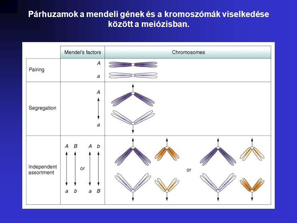 Párhuzamok a mendeli gének és a kromoszómák viselkedése között a meiózisban.