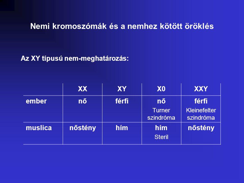 Nemi kromoszómák és a nemhez kötött öröklés Az XY típusú nem-meghatározás: XXXYX0XXY embernőférfinő Turner szindróma férfi Kleinefelter szindróma muslicanőstényhím Steril nőstény