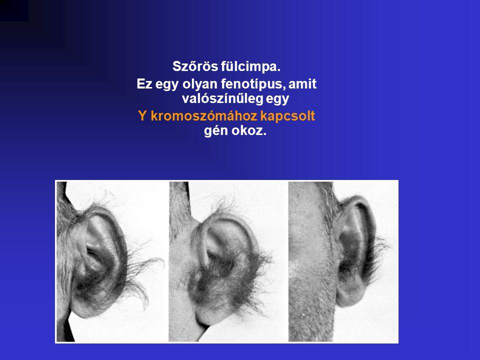 Szőrös fülcimpa. Ez egy olyan fenotípus, amit valószínűleg egy Y kromoszómához kapcsolt gén okoz.
