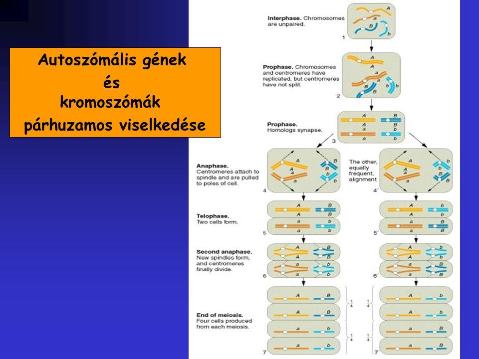 Autoszómális gének és kromoszómák párhuzamos viselkedése