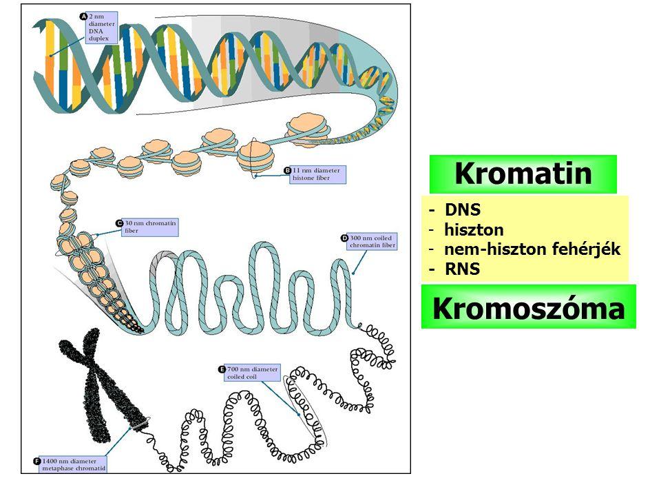Kromatin - DNS - hiszton - nem-hiszton fehérjék - RNS Kromoszóma