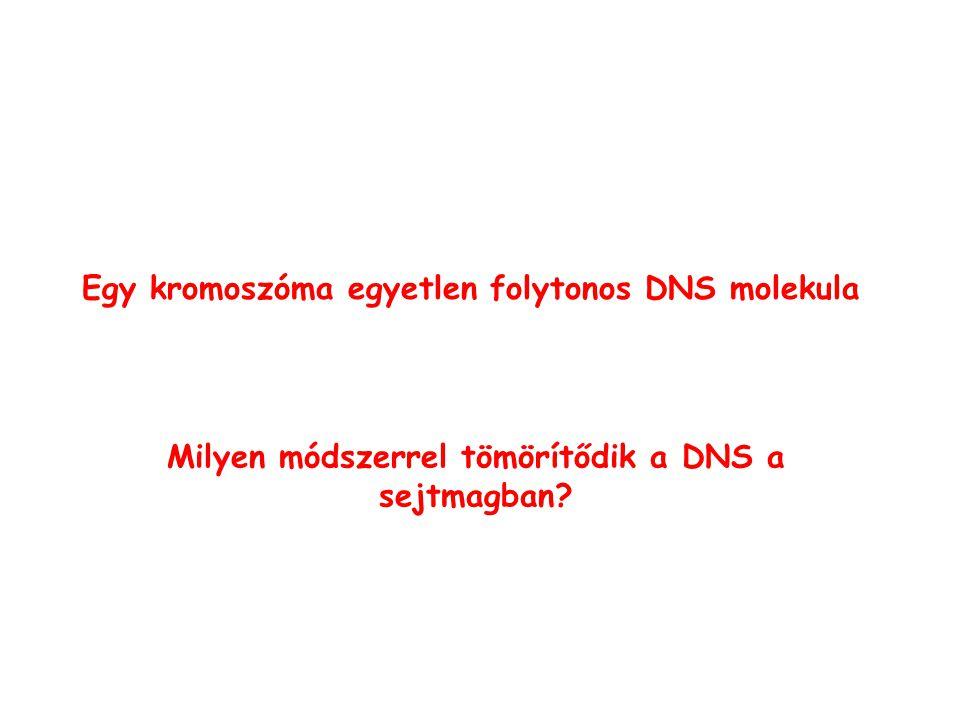 Egy kromoszóma egyetlen folytonos DNS molekula Milyen módszerrel tömörítődik a DNS a sejtmagban?