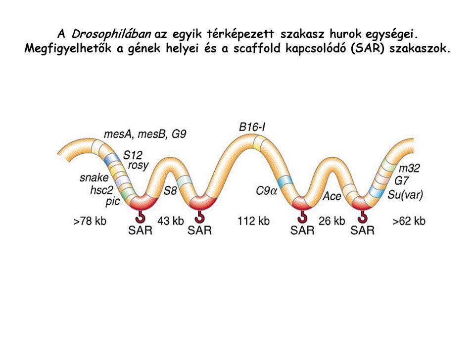 A Drosophilában az egyik térképezett szakasz hurok egységei.