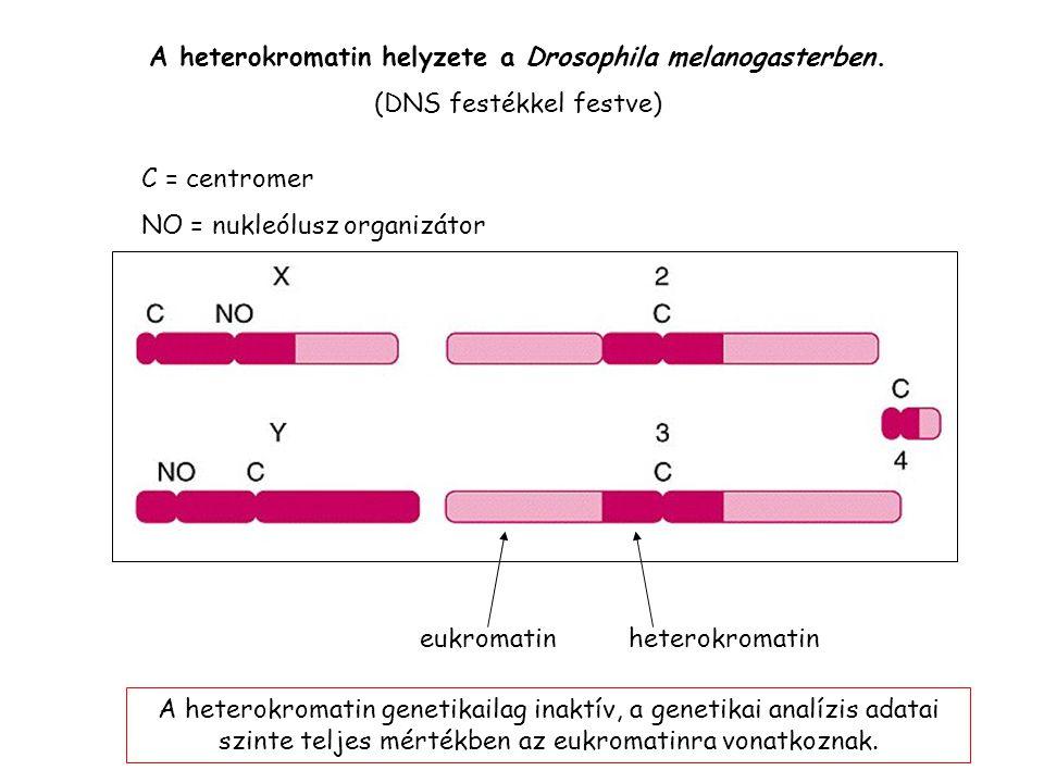 A heterokromatin helyzete a Drosophila melanogasterben.