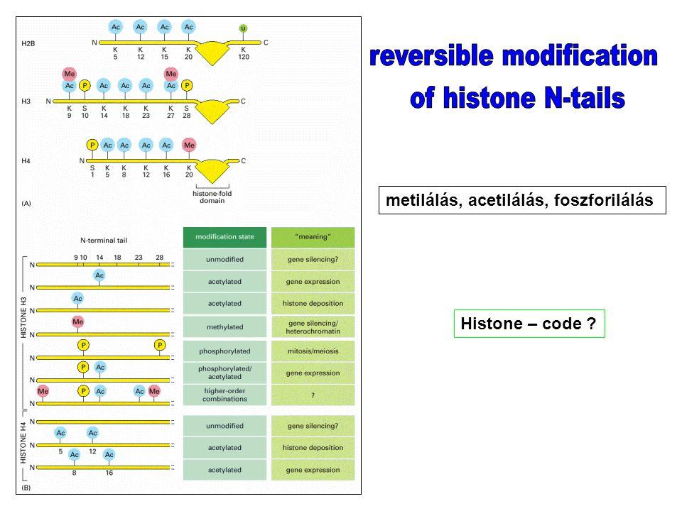 metilálás, acetilálás, foszforilálás Histone – code ?