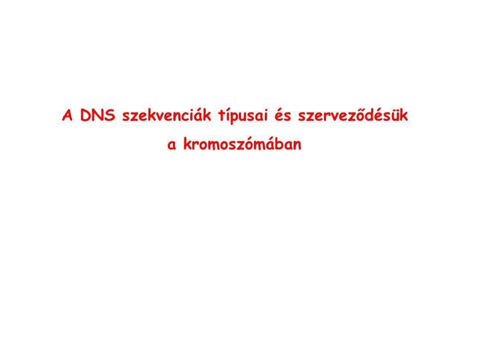 A DNS szekvenciák típusai és szerveződésük a kromoszómában