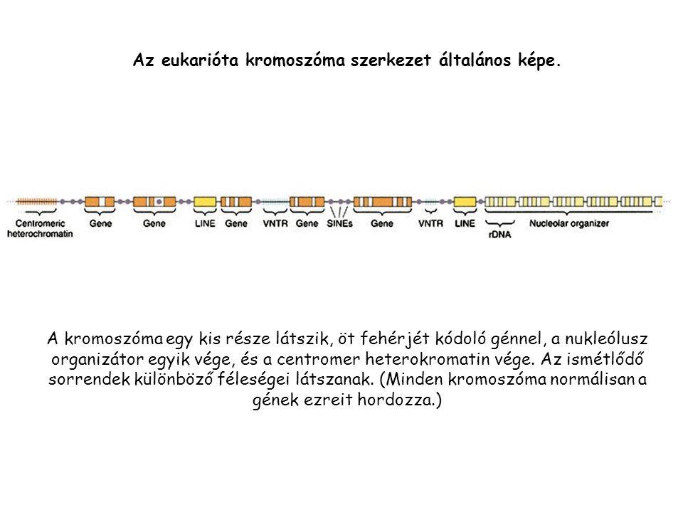 A kromoszóma egy kis része látszik, öt fehérjét kódoló génnel, a nukleólusz organizátor egyik vége, és a centromer heterokromatin vége.