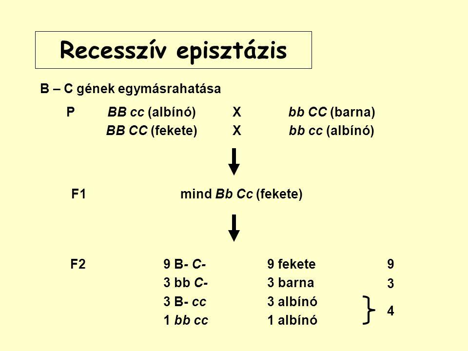 Recesszív episztázis B – C gének egymásrahatása PBB cc (albínó) BB CC (fekete) XXXX bb CC (barna) bb cc (albínó) F29 B- C- 3 bb C- 3 B- cc 1 bb cc 9 fekete 3 barna 3 albínó 1 albínó 4 9 3 F1mind Bb Cc (fekete)