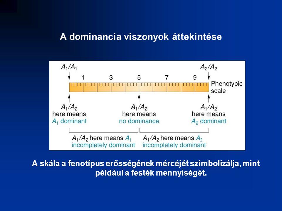 a heterozigóta mindkét allél homozigóta fenotípusát mutatja.