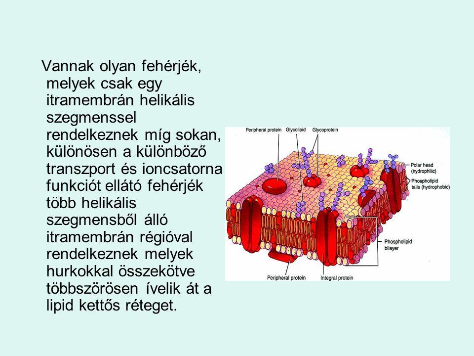 Vannak olyan fehérjék, melyek csak egy itramembrán helikális szegmenssel rendelkeznek míg sokan, különösen a különböző transzport és ioncsatorna funkc