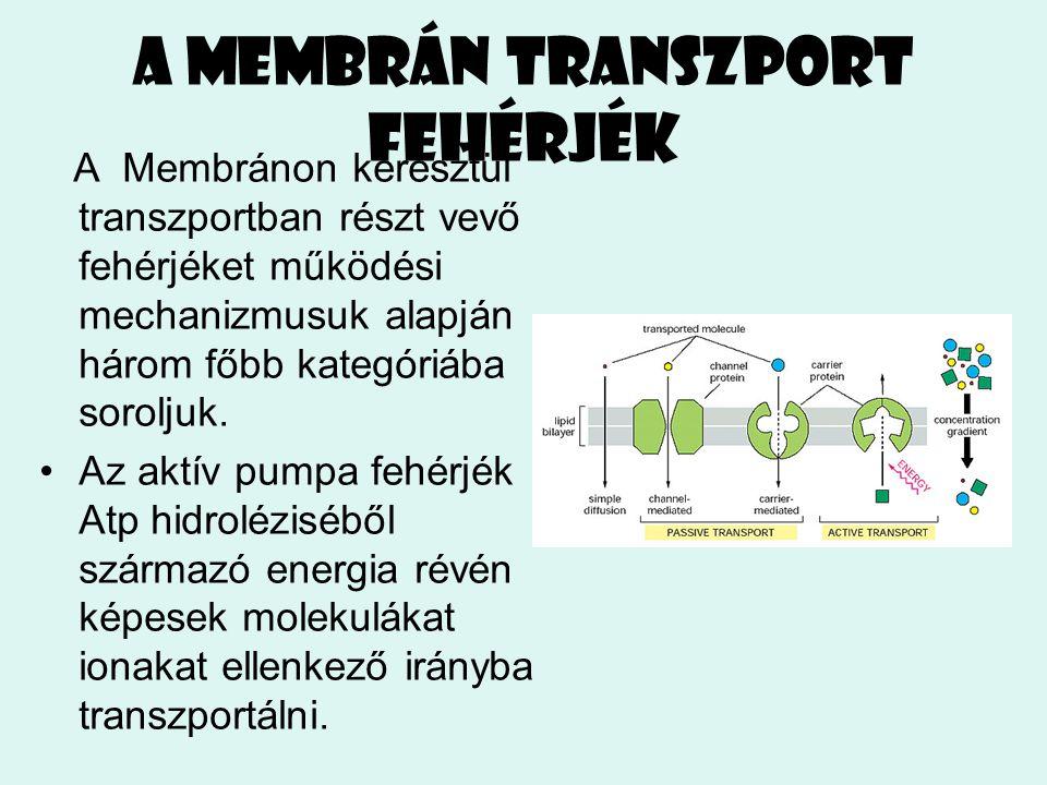 A membrán transzport fehérjék A Membránon keresztül transzportban részt vevő fehérjéket működési mechanizmusuk alapján három főbb kategóriába soroljuk
