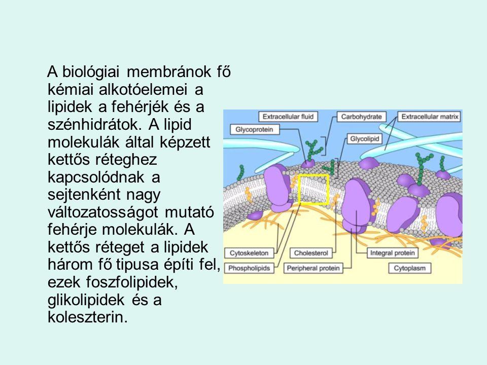 Lipid kettős réteg A membránok felépítésében a lipid molekulák sokasága vesz részt, amelyek egy döntő tulajdonságban mind megegyeznek a molekulák egyik vége vízben oldható, kémiailag hidrofil a másik vége szénhidrogén lánc vízben nem oldódó hidrofób jellegű.