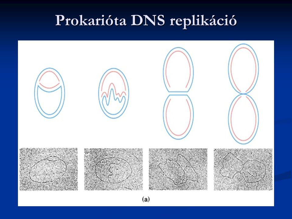 Prokarióta DNS replikáció