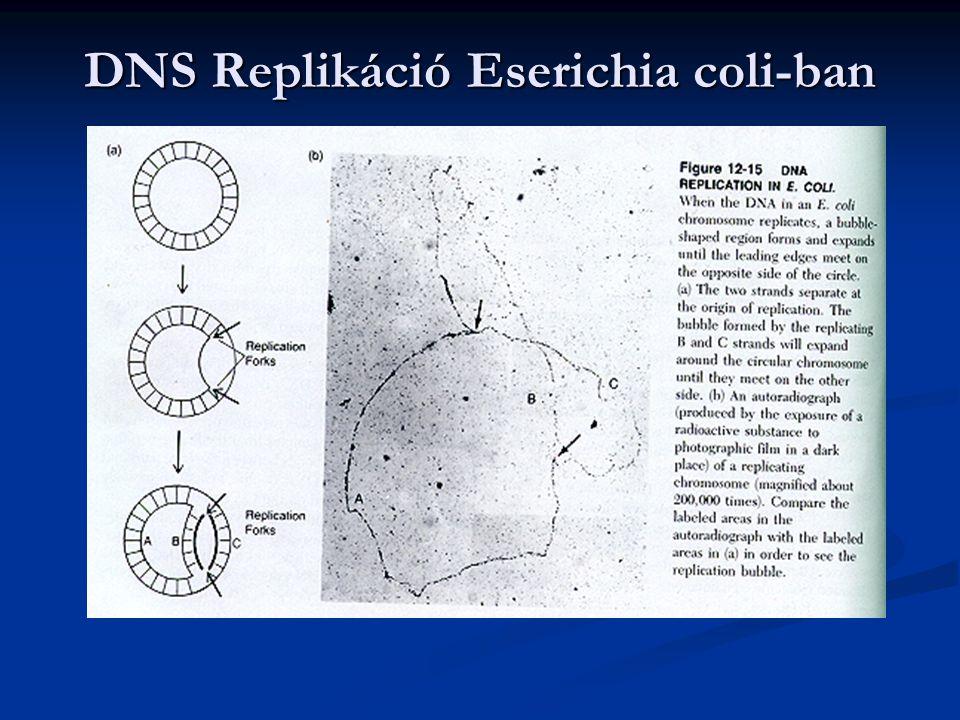 DNS Replikáció Eserichia coli-ban