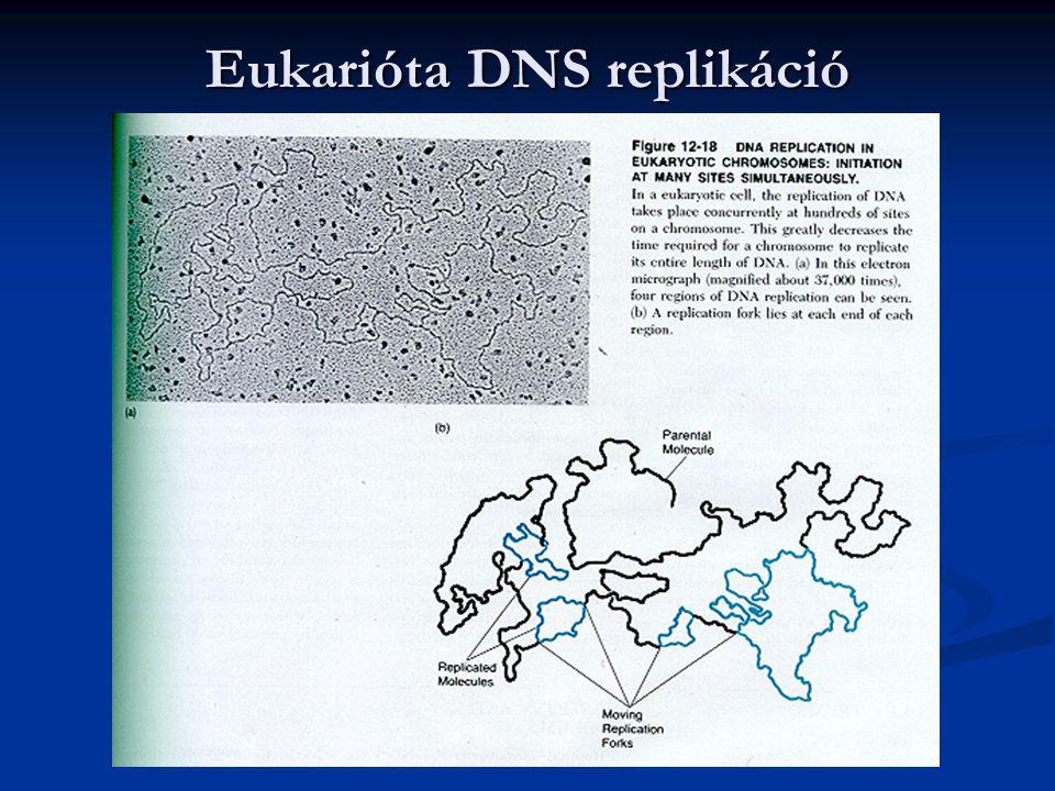 Eukarióta DNS replikáció