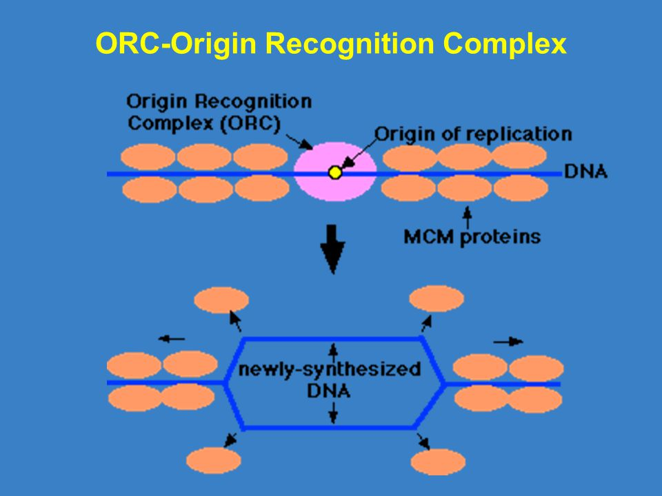 ORC-Origin Recognition Complex
