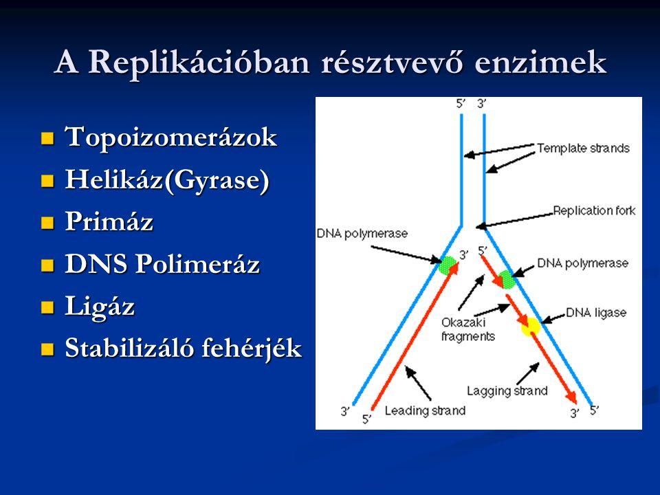 A Replikációban résztvevő enzimek Topoizomerázok Topoizomerázok Helikáz(Gyrase) Helikáz(Gyrase) Primáz Primáz DNS Polimeráz DNS Polimeráz Ligáz Ligáz