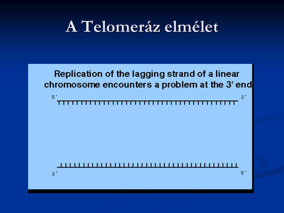 A Telomeráz elmélet