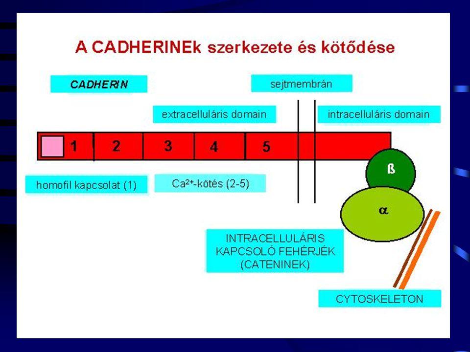 Humán ICAM-1 vizsgálat (enlimomab) Egér anti-humán ICAM-1 IgG2a 32 beteg, refrakter RA: 3 hónapig javulás korai RA betegek: 11 hónapig javulás mechanizmus perif.