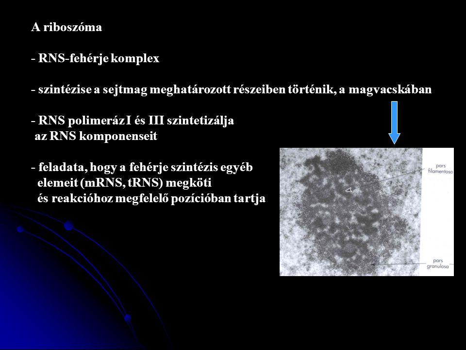 - RNS-fehérje komplex - szintézise a sejtmag meghatározott részeiben történik, a magvacskában - RNS polimeráz I és III szintetizálja az RNS komponenseit - feladata, hogy a fehérje szintézis egyéb elemeit (mRNS, tRNS) megköti és reakcióhoz megfelelő pozícióban tartja