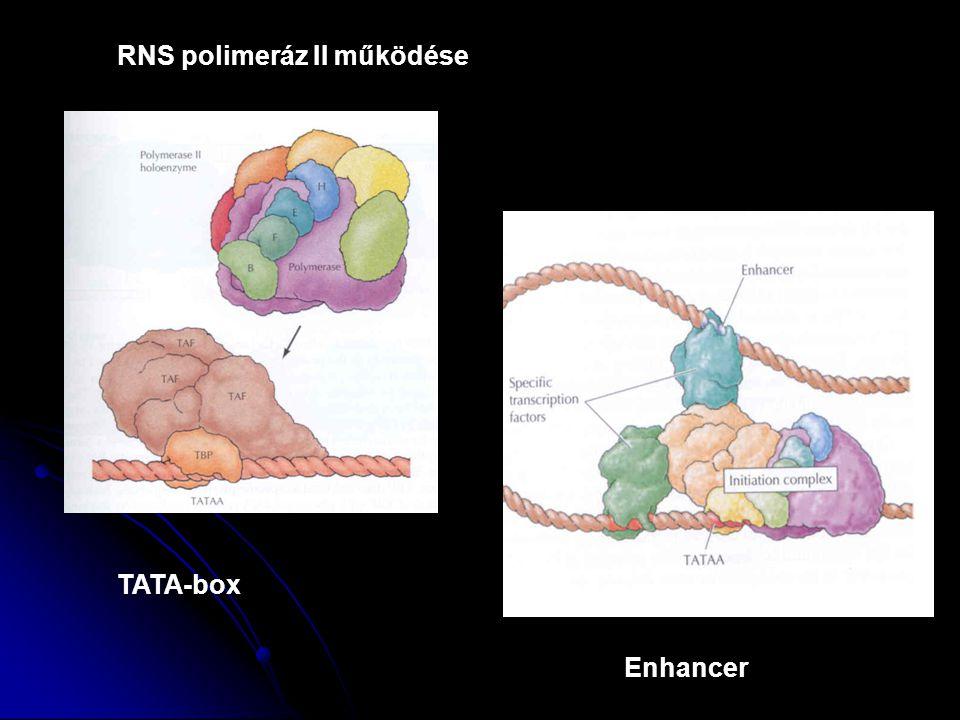 RNS polimeráz II működése TATA-box Enhancer