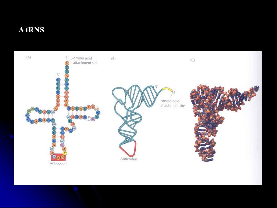 - szintézise a magban történik RNS polimeráz III segítségével - funkciója: az aktivált aminosavakat a riboszómához szállítja és az mRNS genetikai kódjának megfelelően a készülő fehérjelánchoz illeszti - 3 aktív hely: - antikodon - aminosav kötő hely - riboszóma kötő hely - az aktivált észter kötésben energiát tárol a fehérjeszintézis számára
