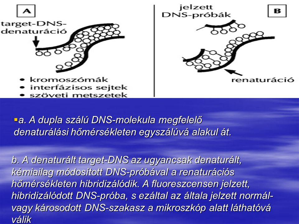  a. A dupla szálú DNS-molekula megfelelő denaturálási hőmérsékleten egyszálúvá alakul át.  a. A dupla szálú DNS-molekula megfelelő denaturálási hőmé