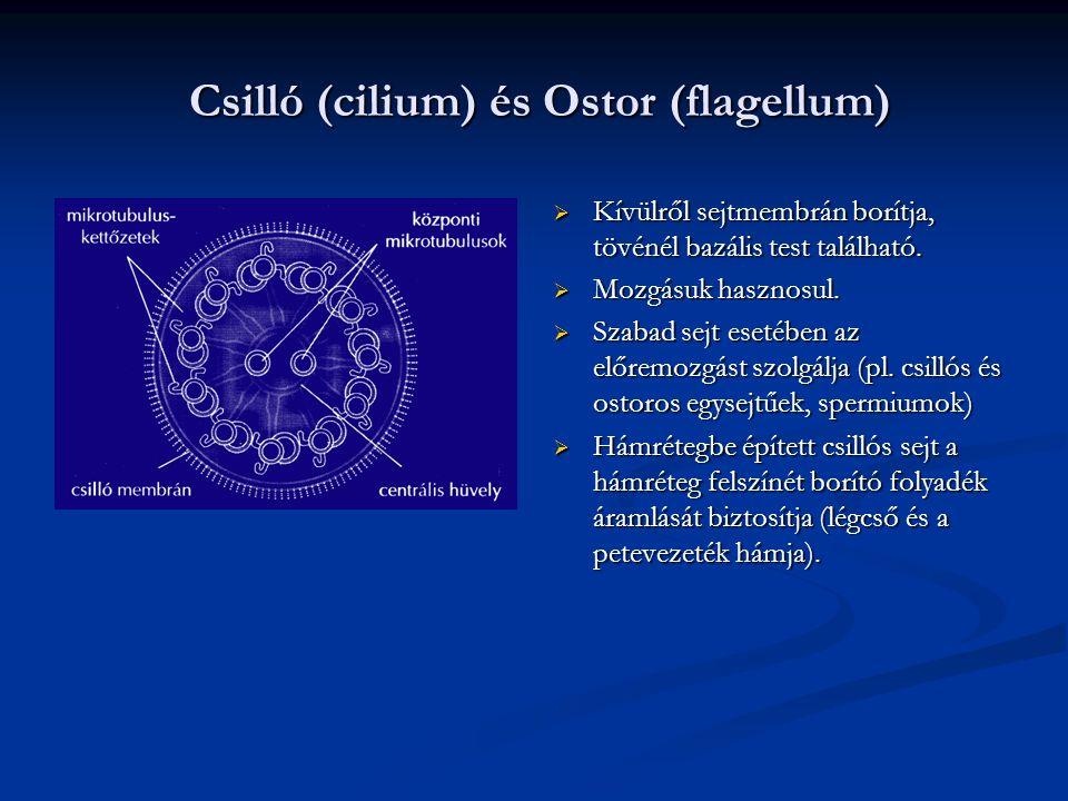 Csilló (cilium) és Ostor (flagellum) Csilló (cilium) és Ostor (flagellum)  Kívülről sejtmembrán borítja, tövénél bazális test található.  Mozgásuk h