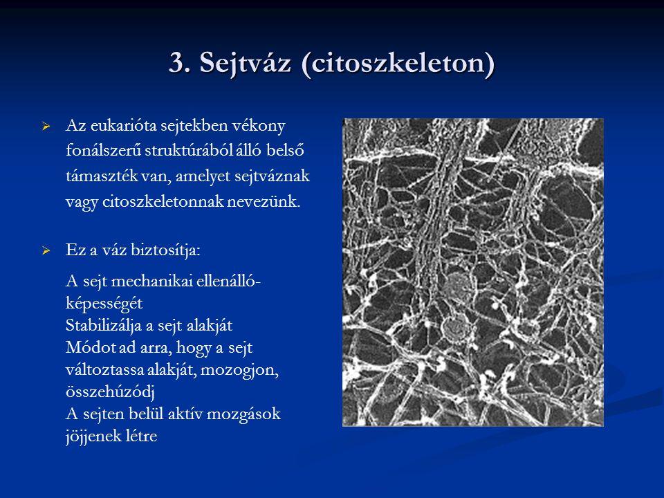 3. Sejtváz (citoszkeleton)   Az eukarióta sejtekben vékony fonálszerű struktúrából álló belső támaszték van, amelyet sejtváznak vagy citoszkeletonna
