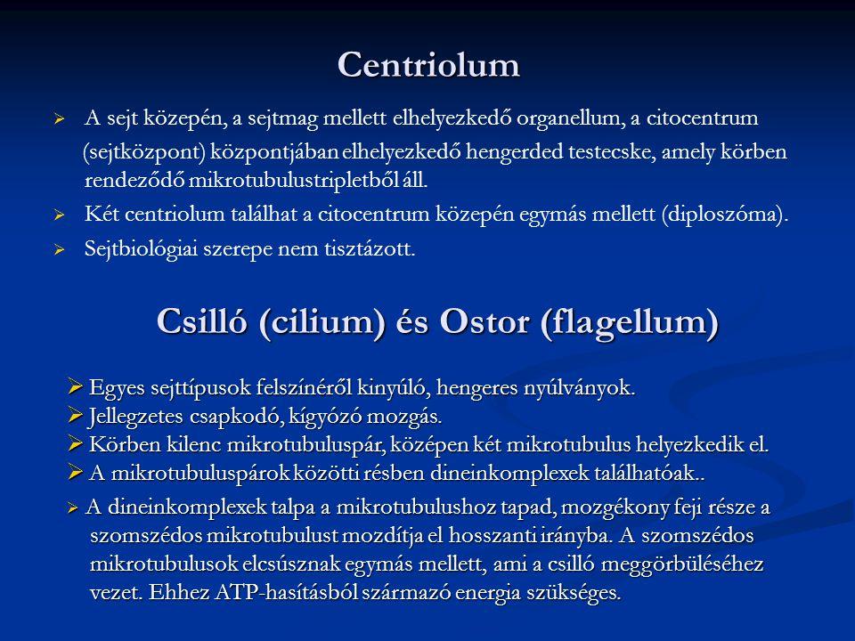 Centriolum   A sejt közepén, a sejtmag mellett elhelyezkedő organellum, a citocentrum (sejtközpont) központjában elhelyezkedő hengerded testecske, a