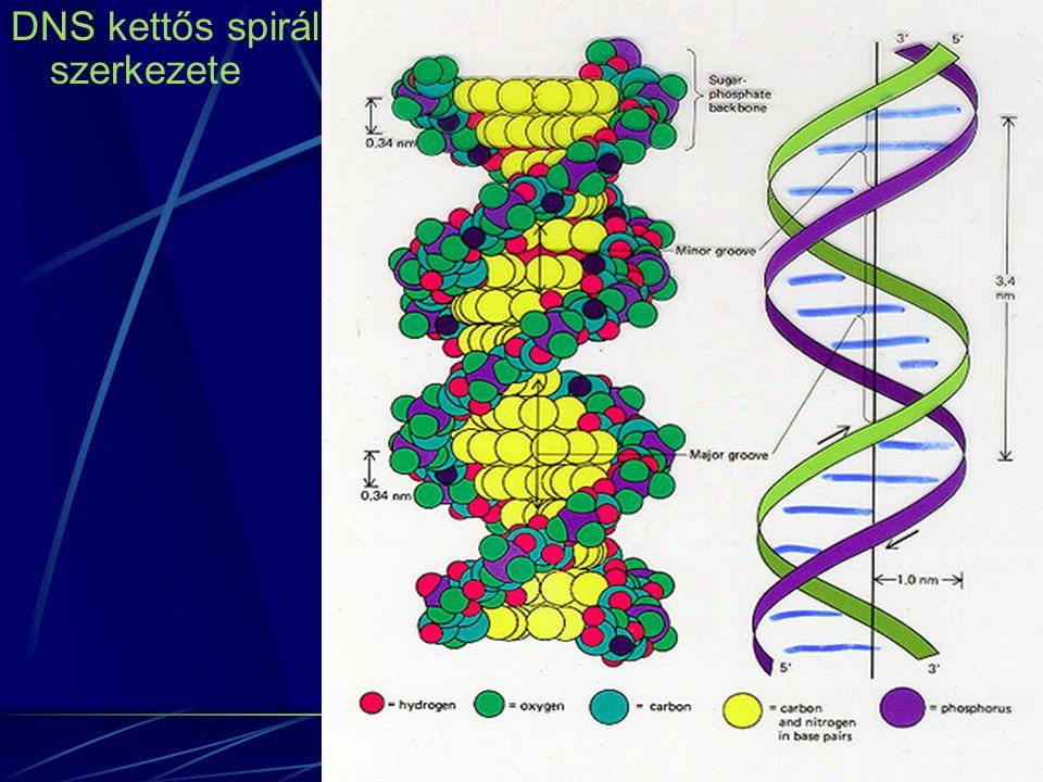 """Szemikonzervatív replicatio: DNS sejtosztódás előtti megkettőződése Szemikonzervatív, mert az egyik lánc az eredeti DNS molekulából származik a másik újonnan szintetizálódik DNS replicatio során létrejöhetnek """"hibák mutációk következő megkettőződéssel továbbadódik, ha nem keletkezik ellentétes mutáció (reserv) Mutáció a genom megváltozása Gyakorlati szempontból: pontmutáció, kromoszóma aberratio A legtöbb mutáció spontán és váratlan"""