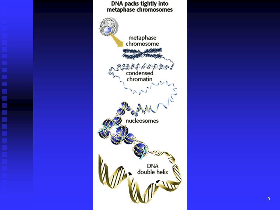 6 DNS * kb.10%-a tartalmaz fehérje szintézishez felhasznált kódot (GÉN) (b.é.