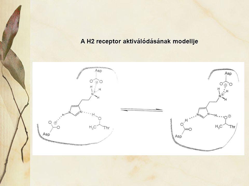 A H2 receptor aktiválódásának modellje