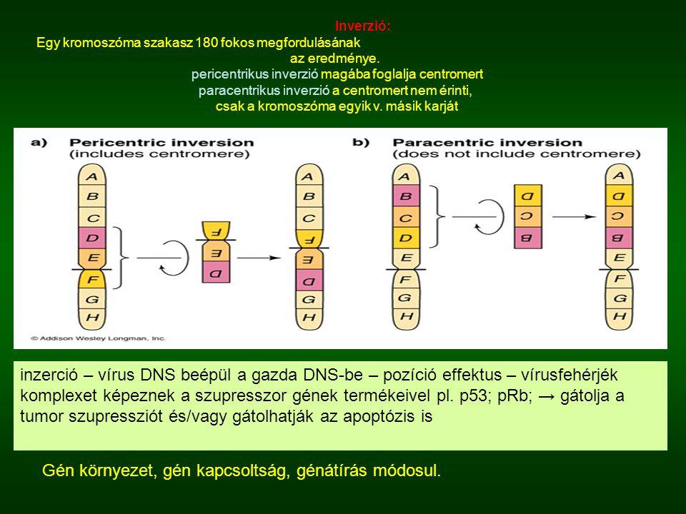 Inverzió: Egy kromoszóma szakasz 180 fokos megfordulásának az eredménye. pericentrikus inverzió magába foglalja centromert paracentrikus inverzió a ce