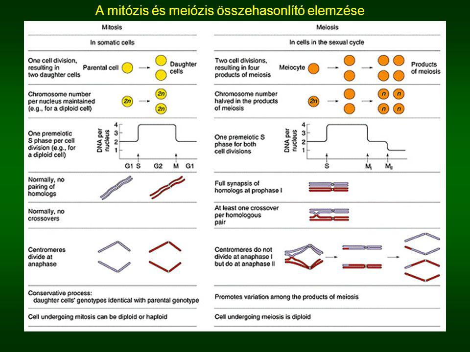 A mitózis és meiózis összehasonlító elemzése